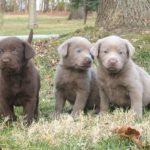 labrador-chocolate-filhotes