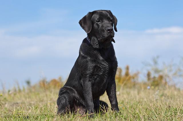 O cachorro dessa raça é carinhoso e adora estar rodeado da família