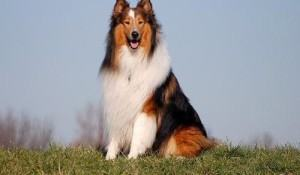 lassie-collie