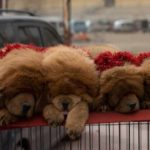 tibetan-mastiff-filhotes