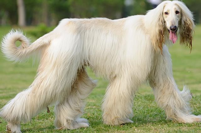 A marca registrada do afghan hound é a abundância da sua pelagem