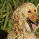 afghan-hound-amarelo
