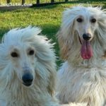 afghan-hound-brancos