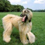 afghan-hound-cachorro
