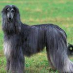afghan-hound-cinza