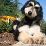 afghan-hound-filhote