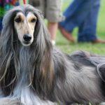 afghan-hound-malhado