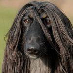 afghan-hound-preto