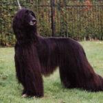afghan-hound-preto-pelo