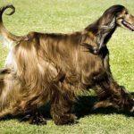 afghan-hound-preto-pelo-sedoso