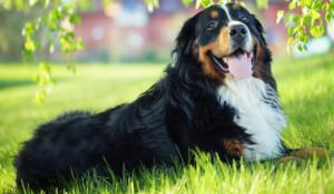 bernese-montain-cachorro