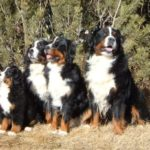 bernese-montain-cachorros