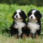 bernese-montain-filhotes