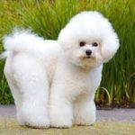 bichon-frise-cachorro