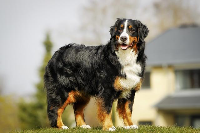 O boiadeiro bernês está entre os 30 cães mais populares