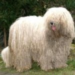 komodor-cachorro-grande