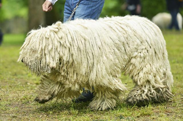 O komondor foi criado com a função de pastorear rebanhos