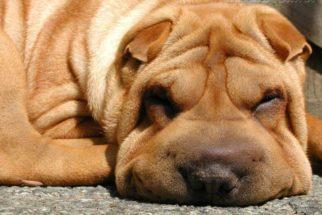Lipoaspiração para cachorro