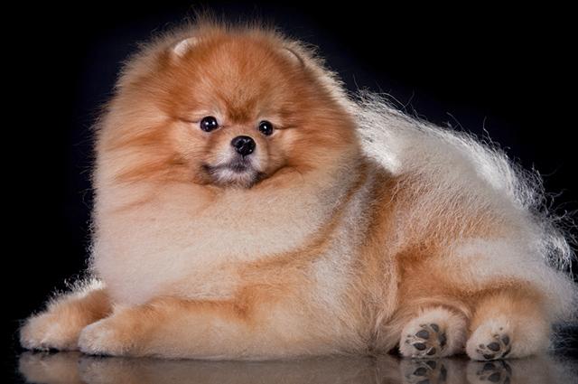 O Lulu da Pomerânia é um cão de companhia