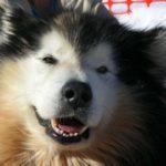 malamute-do-alasca