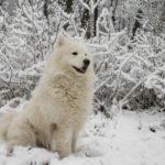 malamute-do-alasca-branco
