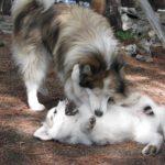 malamute-do-alasca-brincando