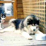 malamute-do-alasca-comendo