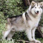 malamute-do-alasca-lindo