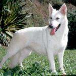 pastor-alemao-branco