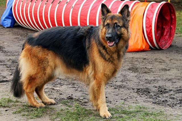 O pastor alemão pode viver entre sete e 10 anos