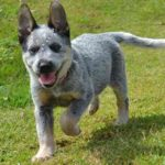 pastor-australiano-blue-heeler-pequeno