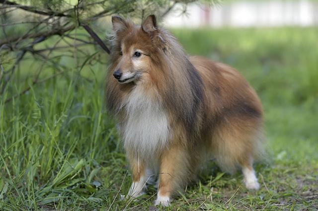 O pastor de Shetland é um cão de temperamento muito agitado