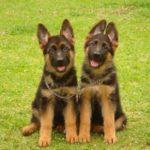 pastores-alemaes-pequenos