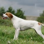 pointer-cachorro