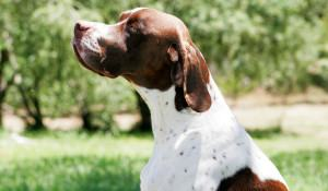 pointer-dog