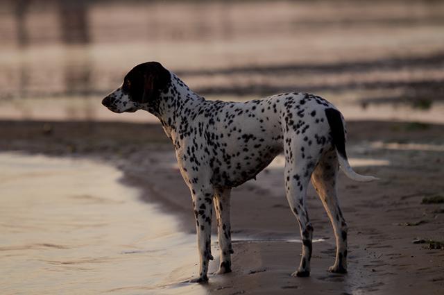 O pointer é um cachorro cheio de energia, e é ainda um animal muito ativo e alerta