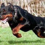rottweiler-correndo