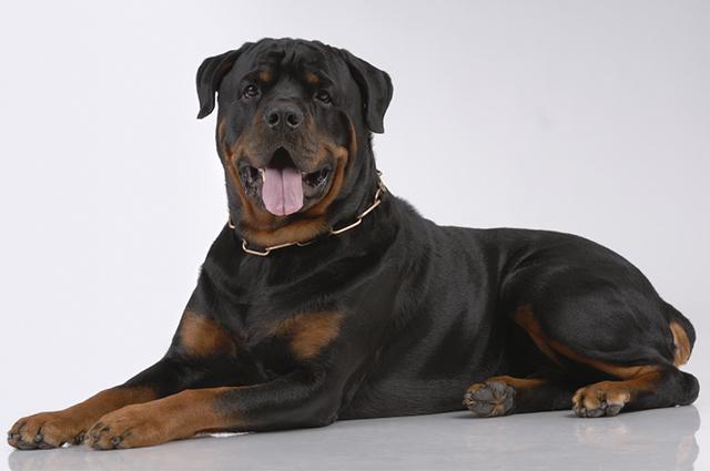 O rottweiler é territorialista, por isso é importante o adestramento