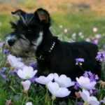 schnauzer-miniatura-flores