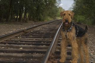 Airedale Terrier – Saiba tudo sobre esta raça