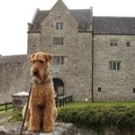 airedale-terrier-