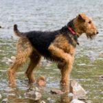 airedale-terrier-agua
