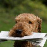 airedale-terrier-filhotinho