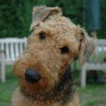 airedale-terrier-fofo