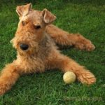 airedale-terrier-marrom