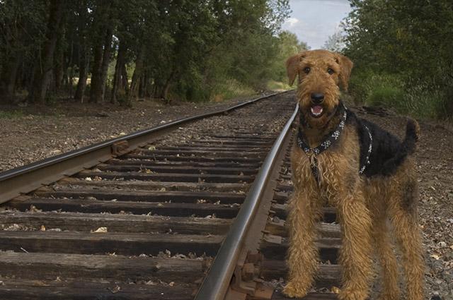 O airedale terrier é inteligente e independente e foi usado para caça