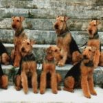 airedales-terrier