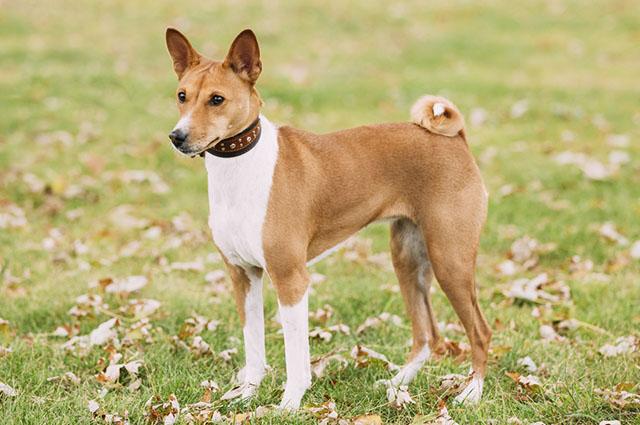 O basenji é uma das raças de cães que latem pouco