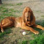 bloodhound-cachorro