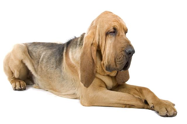 O bloodhound pode viver entre sete e nove anos